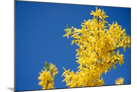 Yellow Flowers of Forsythia against the Blue Sky- irishasel-Mounted Photographic Print