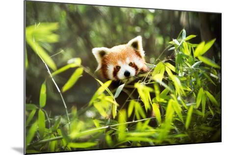 Red Panda-Igor Mojzes-Mounted Photographic Print