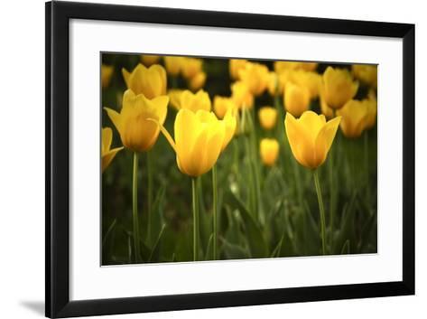 Yellow Tulips- Sondem-Framed Art Print