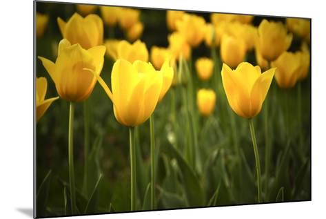 Yellow Tulips- Sondem-Mounted Photographic Print