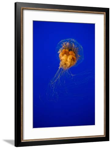 Cyanea Capillata - Lion's Mane Jellyfish-EvanTravels-Framed Art Print