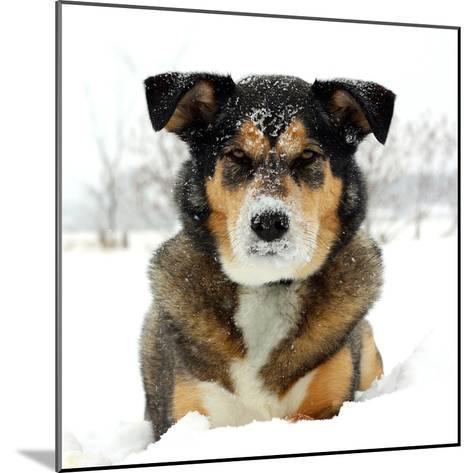 German Shepherd Dog Laying in Snow-Christin Lola-Mounted Photographic Print