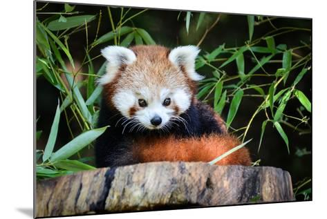 Red Panda-_jure-Mounted Photographic Print