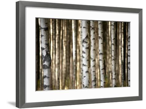 Trunks of Birch Trees-Pink Badger-Framed Art Print