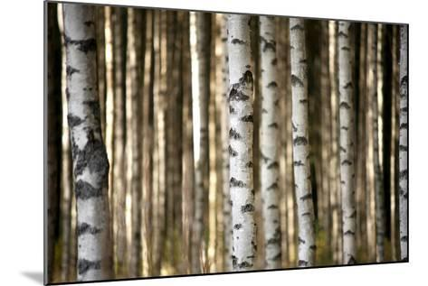 Trunks of Birch Trees-Pink Badger-Mounted Photographic Print
