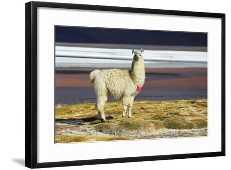 Alpaca in Salar De Uyuni, Bolivia Desert-padchas-Framed Art Print