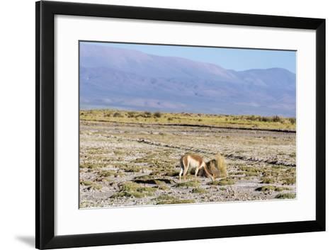 Vicuna in Salinas Grandes in Jujuy, Argentina.-Anibal Trejo-Framed Art Print