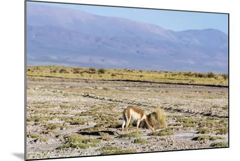 Vicuna in Salinas Grandes in Jujuy, Argentina.-Anibal Trejo-Mounted Photographic Print