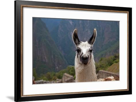 Alpaca at Machu Picchu-Gail Johnson-Framed Art Print