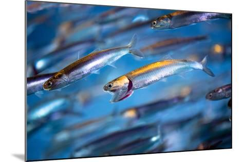 School of Swimming Anchovies-EvanTravels-Mounted Photographic Print