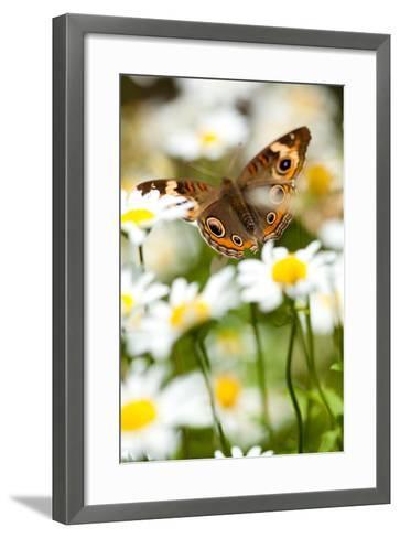 Buckeye in Daisies-EvanTravels-Framed Art Print