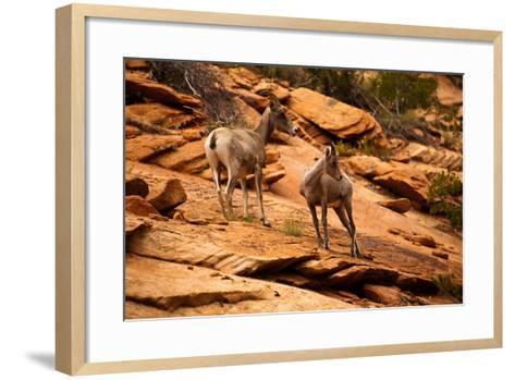 Mountain Goat in Zion National Park, Utah, USA-EvanTravels-Framed Art Print