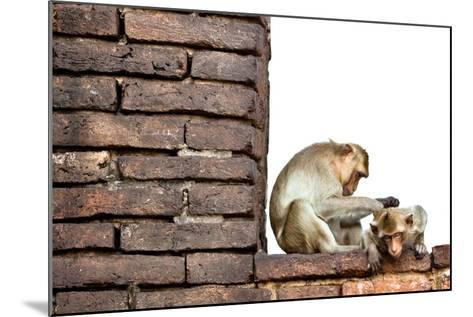 Bear-Faced Monkeys in Lopburi, Thailand-EvanTravels-Mounted Photographic Print