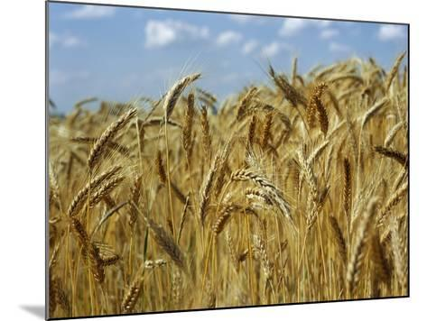 Ears of Wheat in Field-Monika Halmos-Mounted Photographic Print