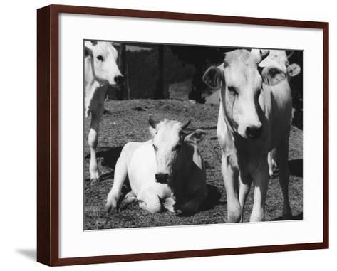 Calves-Vincenzo Balocchi-Framed Art Print
