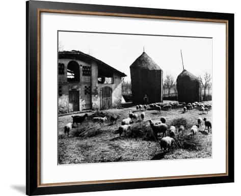 Restone (Figline Valdarno). Haystacks and Grazing Sheep--Framed Art Print