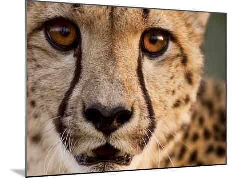 Close Up Portrait of a Cheetah.-Karine Aigner-Mounted Photographic Print