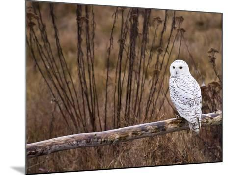 Snowy Owl Perched on Log-Mike Cavaroc-Mounted Photographic Print