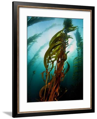 Channel Islands National Park, California: the View Underwater Off Anacapa Island of a Kelp Forest-Ian Shive-Framed Art Print