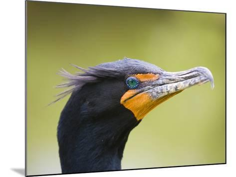Double Crested Cormorant-Ethan Welty-Mounted Photographic Print