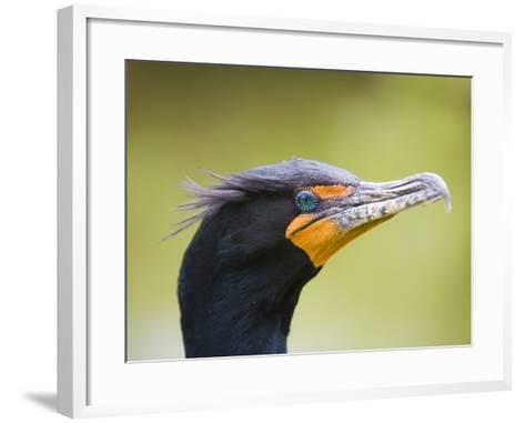 Double Crested Cormorant-Ethan Welty-Framed Art Print