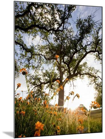 Tollhouse Ranch, Caliente, California: Rolling Green Hills and Oak Trees of the Tollhouse Ranch.-Ian Shive-Mounted Photographic Print