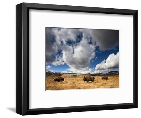 American Bison in Yellowstone National Park, Wyoming.--Framed Art Print