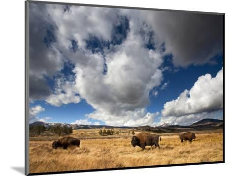 American Bison in Yellowstone National Park, Wyoming.--Mounted Photographic Print