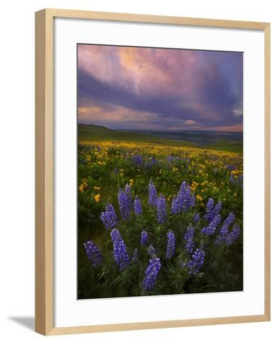 Colorful Sunrise over the Wildflowers of the Columbia River Gorge in Washington-Miles Morgan-Framed Art Print