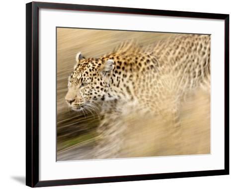 A Female Leopard Stalking Her Prey in Blurred Motion.-Karine Aigner-Framed Art Print