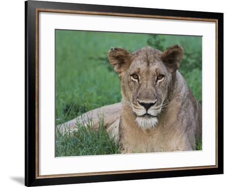 Portrait of a Wild Lioness in the Grass in Zimbabwe.-Karine Aigner-Framed Art Print