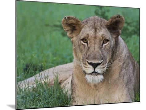 Portrait of a Wild Lioness in the Grass in Zimbabwe.-Karine Aigner-Mounted Photographic Print