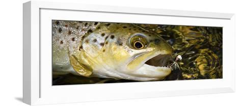 A Dry Fly Caught Brown Trout from a Small Mountain Stream in Utah in Late Summer.-Clint Losee-Framed Art Print