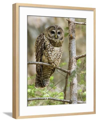 A Spotted Owl (Strix Occidentalis) in Los Angeles County, California.-Neil Losin-Framed Art Print