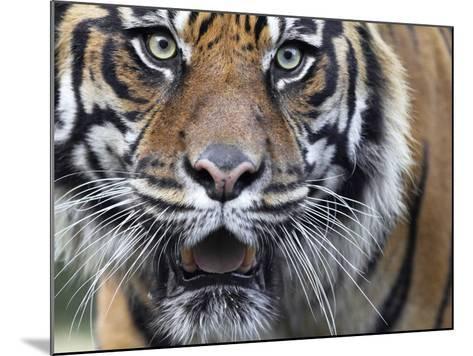 Extreme Closeup Portrait of a Male Sumatran Tiger.-Karine Aigner-Mounted Photographic Print