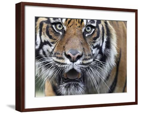 Extreme Closeup Portrait of a Male Sumatran Tiger.-Karine Aigner-Framed Art Print