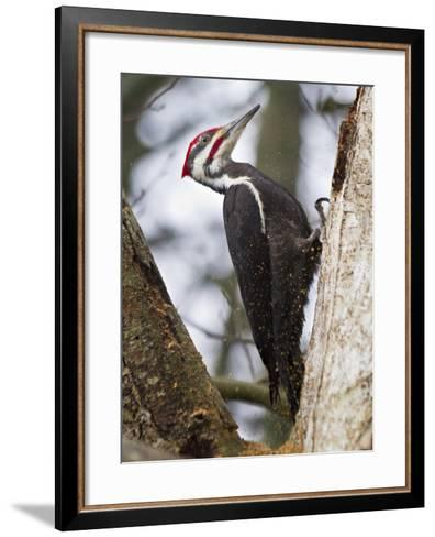 Pileated Woodpecker Pecking for Food-Mike Cavaroc-Framed Art Print