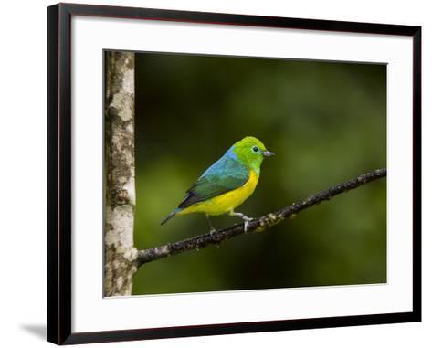 A Male Blue-Naped Chlorophonia (Chlorophonia Cyanea) in Brazil's Atlantic Rainforest-Neil Losin-Framed Art Print