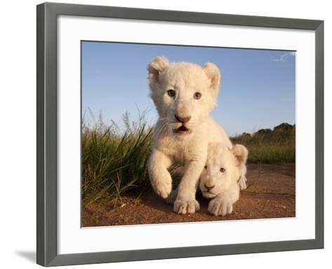 Portrait of Two White Lion Cub Siblings, One Laying Down and One with it's Paw Raised.-Karine Aigner-Framed Art Print