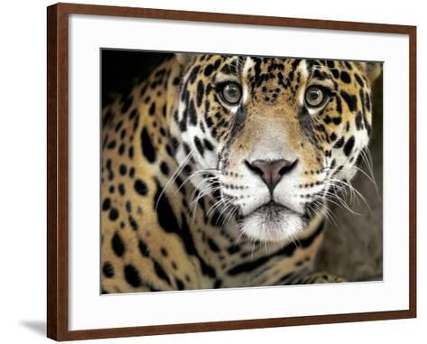 A Jaguar Stares Intensely into the Camera.-Karine Aigner-Framed Art Print
