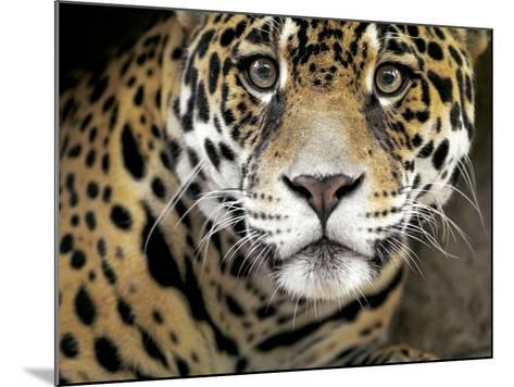 A Jaguar Stares Intensely into the Camera.-Karine Aigner-Mounted Photographic Print