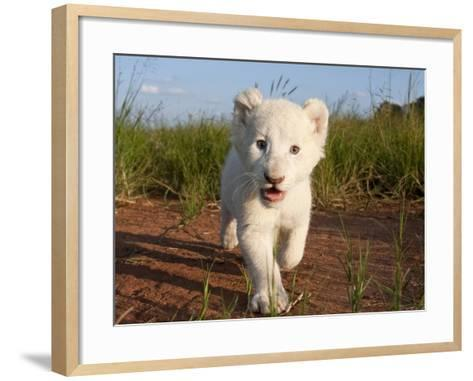 Adorable Portrait of a White Lion Cub Walking and Smiling with Direct Eye Contact.-Karine Aigner-Framed Art Print
