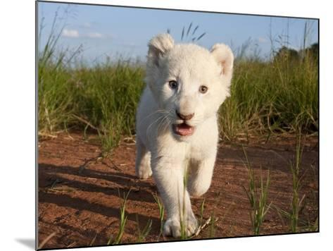Adorable Portrait of a White Lion Cub Walking and Smiling with Direct Eye Contact.-Karine Aigner-Mounted Photographic Print