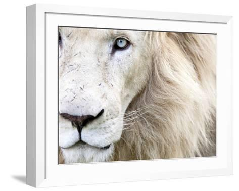 Full Frame Close Up Portrait of a Male White Lion with Blue Eyes.  South Africa.-Karine Aigner-Framed Art Print