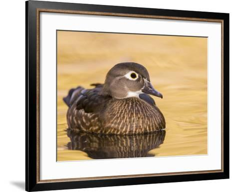 A Female Wood Duck (Aix Sponsa) on a Small Pond in Southern California.-Neil Losin-Framed Art Print