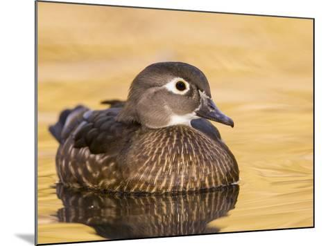 A Female Wood Duck (Aix Sponsa) on a Small Pond in Southern California.-Neil Losin-Mounted Photographic Print