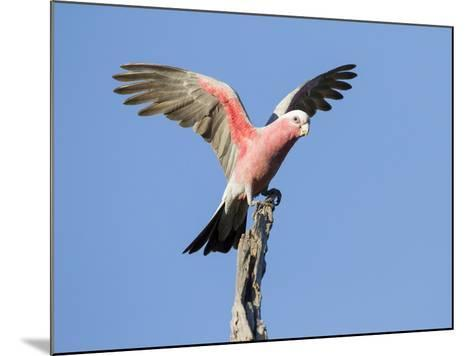 A Galah (Eolophus Roseicapilla) Landing in Southwest Australia.-Neil Losin-Mounted Photographic Print