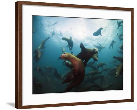 California Sea Lions  Swimming Underwater Off Anacapa Island.-Ian Shive-Framed Art Print