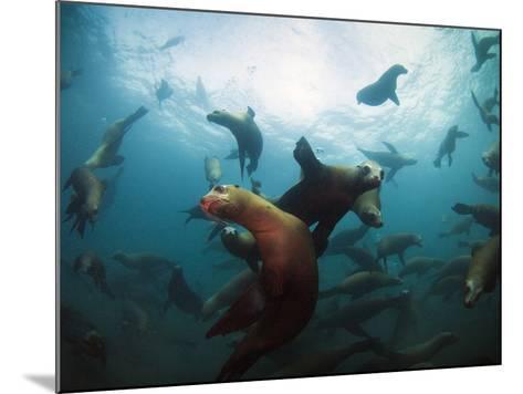 California Sea Lions  Swimming Underwater Off Anacapa Island.-Ian Shive-Mounted Photographic Print