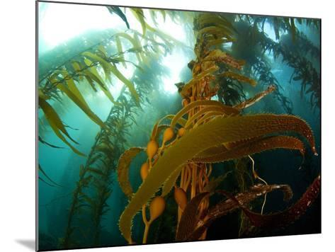 Chanthe View Underwater Off Anacapa Island of a Kelp Forest.-Ian Shive-Mounted Photographic Print